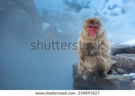 Japanese Snow monkey Macaque in hot spring Onsen Jigokudan Park, Nakano, Japan - stock photo