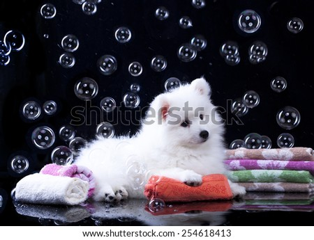 Japanese Spitz puppy and  bubbles - stock photo