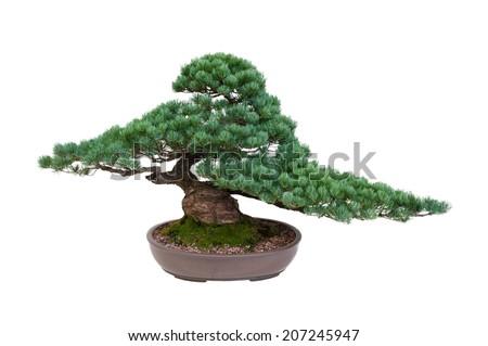 japanese white pine bonsai tree isolated  - stock photo