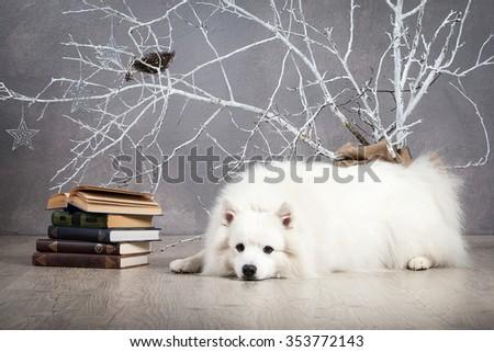 Japanese white spitz on Christmas background - stock photo