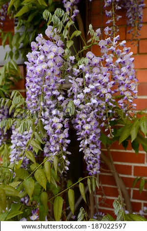 Japanese Wisteria,Blauregen - stock photo