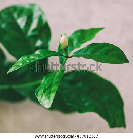 jasmine flower Are blooming With aroma - stock photo