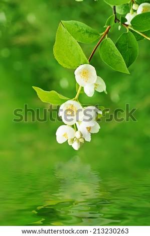 Jasmine flower growing on the bush in  garden - stock photo