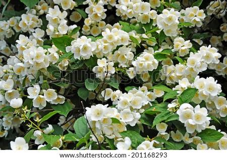 Jasmine flower growing on the bush in garden, floral background  - stock photo