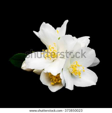 Jasmine flowers isolated on a black background - stock photo