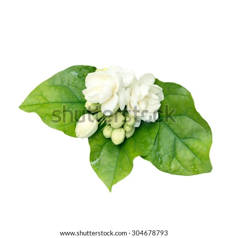 Jasmine isolated on white background with clipping path. - stock photo
