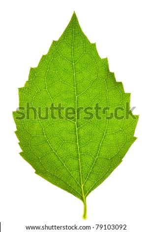 Jasmine leaf on isolated - stock photo
