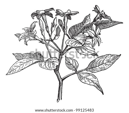 Jasmine or Jasminum, vintage engraved illustration. Dictionary of words and things - Larive and Fleury - 1895. - stock photo