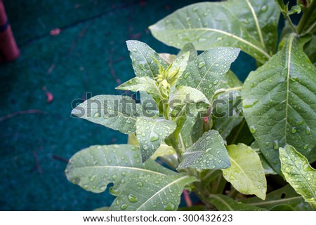 Jasmine tobacco plant in the rain showing new flower buds beginning to grow. Also known as Aztec tobacco and Nicotiana alata. - stock photo