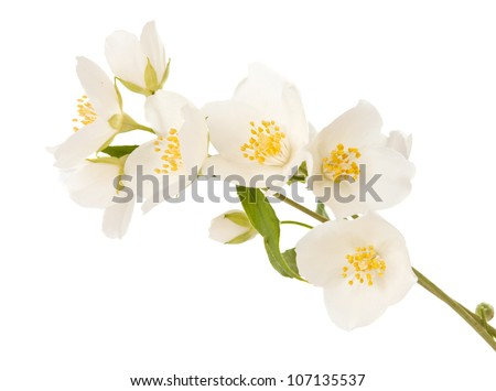 jasmine twig isolated on white background - stock photo