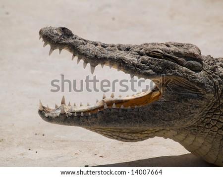 jaw of african crocodile - stock photo