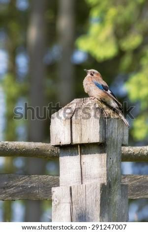 jay bird on a wooden column inhabitants of the forest - stock photo