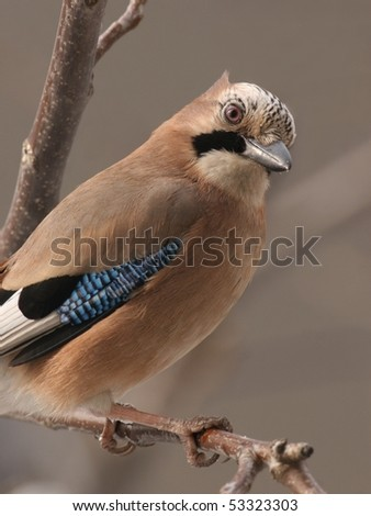 Jay perched on a twig, close up - stock photo
