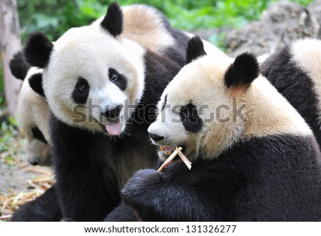 Jealous panda bear sticking out tongue and hungrily looking at fellow panda eating bamboo - stock photo