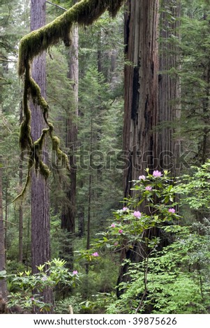 Jedediah smith redwoods state park in the spring - stock photo