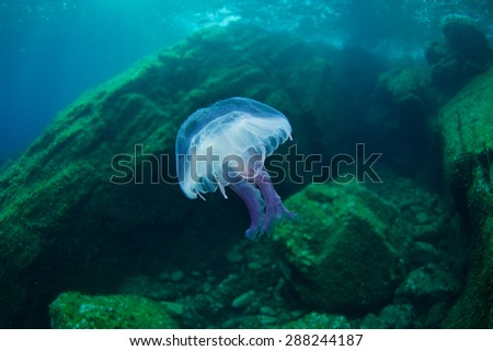 Jellyfish-Cnidaria - stock photo