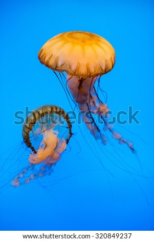 Jellyfish in the deep blue background - stock photo