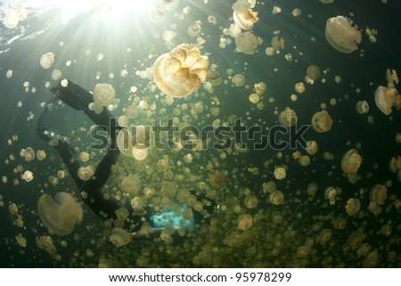 jellyfish lake Palau - stock photo