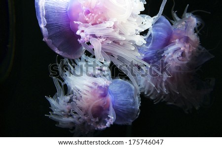 Jellyfish Monterey Aquarium California - stock photo