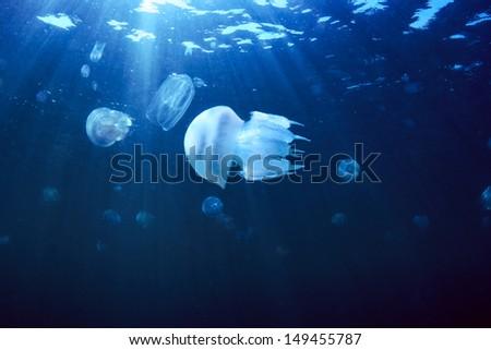Jellyfish (Rhizostoma pulmo), Black Sea - stock photo