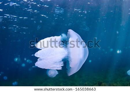 Jellyfish (Rhizostoma pulmo), in the Black Sea. - stock photo