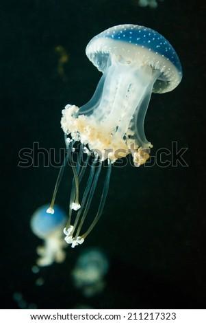 Jellyfish swimming - Transparent jellyfish swimming in dark blue water  - stock photo