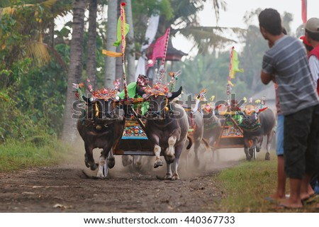 Jembrana, Bali island, Indonesia - 29 July, 2012: Running bulls decorated by barong mask, in action on traditional balinese water buffalo race Makepung. Bali people ethnic culture festivals and events - stock photo