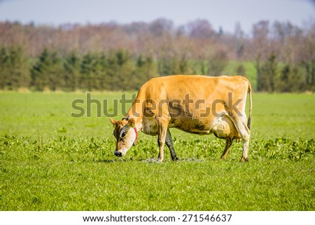 Jersey cow grazing on a green field in the spring - stock photo