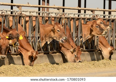 Jersey cows feeding after being milked at a central California dairy - stock photo