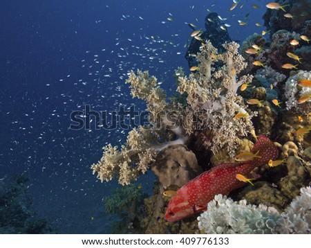 Jewel grouper below a soft coral - stock photo