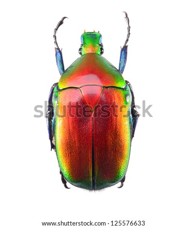 jewelry beetle, Torynorrhina flammea isolated on white background - stock photo