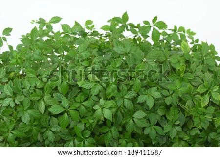 Jiaogulan   /Gynostemma pentphyllum/, China's Immortality Herb - stock photo