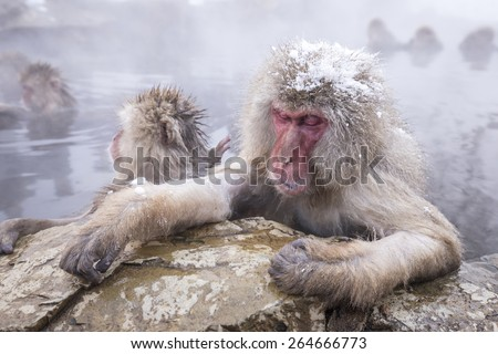 Jigokudani snow monkey bathing onsen hotspring famous sightseeing in Japan. - stock photo