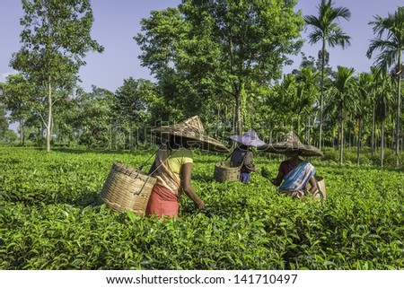 JORHAT, INDIA - AUGUST 30: harvesters wearing traditional clothes and bamboo hats pick the second flush of tea leaves on a tea plantation on August 30, 2011 in Jorhat, Assam, north east India. - stock photo