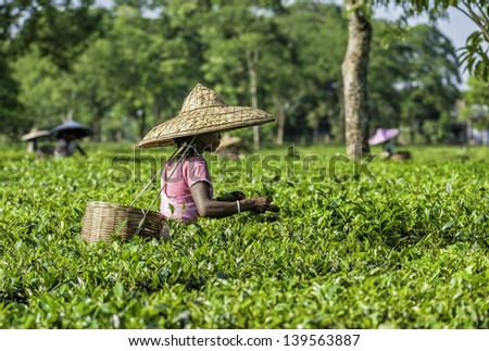 JORHAT, INDIA - AUGUST 30: Tea leaf harvesters wearing bamboo hats and bamboo baskets pick the second flush of young tea leaves on a tea plantation on August 30, 2011 in Jorhat , Assam, India. - stock photo
