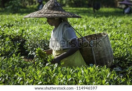 JORHAT - SEPTEMBER 22: an unidentified tea-leaf harvester picks the second flush of tea leaves on September 22, 2011 on a tea plantation at Jorhat, Assam, India. - stock photo