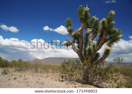 Joshua tree forest, Arizona,USA - stock photo