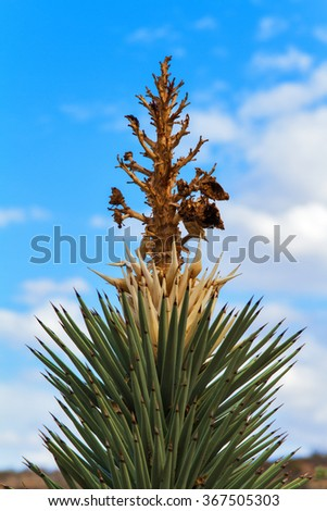 Joshua Tree in Desert near Red Rock Canyon, Nevada, USA - stock photo