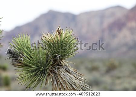 Joshua Tree in Joshua Tree National Park, California, USA - stock photo