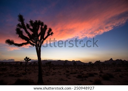 Joshua Tree in silhouette in desert with pink sky. - stock photo