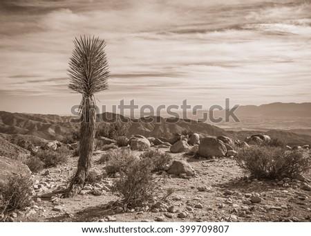 Joshua Tree Landscape in Sepia 5 - stock photo