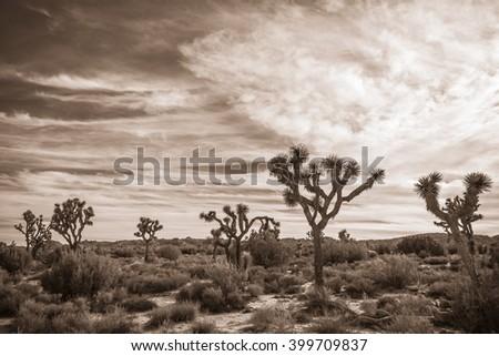 Joshua Tree Landscape in Sepia 2 - stock photo