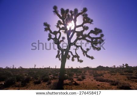 Joshua Tree silhouette, desert in bloom, CA - stock photo