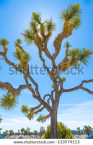 Joshua Tree With Blooms - stock photo