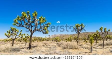 Joshua Trees - stock photo