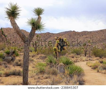 Joshua trees and desert hills form a fascinating landscape at Joshua Tree National Park in California. - stock photo