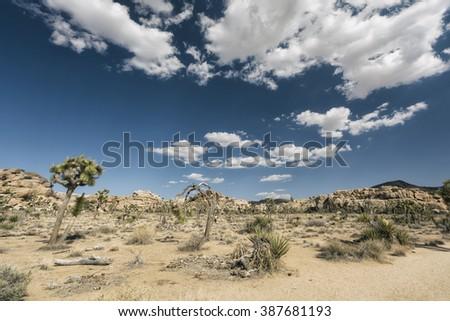 Joshua Trees at Joshua Tree National Park, California - stock photo