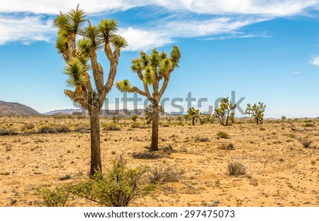 Joshua Trees in the Joshua Tree National Park
