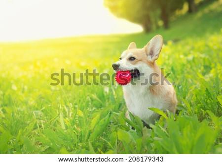 Joyful positive dog Welsh Corgi Pembroke playing with ball in summer sunny day - stock photo
