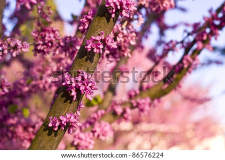 Judas tree in full bloom /Cercis siliquastrum/ - stock photo